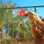 Ali Baba, the Coke Drinking Camel