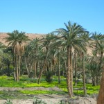 Date Groves in an Oasis
