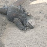 A Large Marine Iguana Contemplating Taking the Plunge