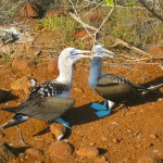 Blue Footed Boobies In Love