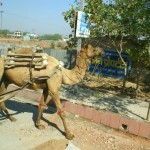 A Camel is Pressed into Delivery Service