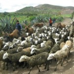 The Flocks at the Village of Maras