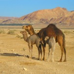 Free Range Camels of Southern Tunisia