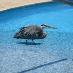 A Heron Enjoys a Dip at the Hotel Pool