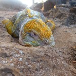 "Land Iguanas Giving Tourist the ""Stink Eye"""