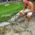 Tame Iguanas in Guayaquil