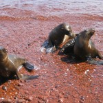 Sea Lion Pups at Play