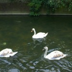 Swans on one of Many Avon Rivers