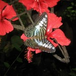 Butterfly and Hibiscus at the Habitat