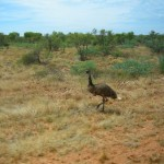 An Emu out Strolling near Exmouth