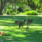 Roos Paying Their Respects