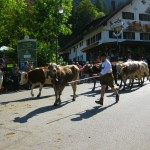 Running of the Cows at Hohenschangau