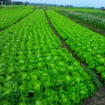 A Field of Lettuce near Halong Bay