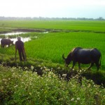 Rice Paddy with a Farmer and his Water Buffalo