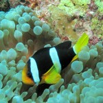 A Clownfish with an Anemone