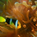 Nemo, the Clownfish and his Host Anemone