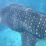 Whaleshark Close Enough to Touch