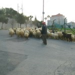Sheep and goats in the poshest street in Amman